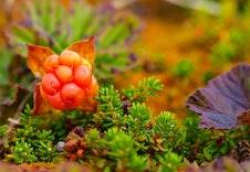 Bærplukking om høsten
