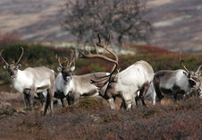 Reindeers In The National Park Of Forollhogna Foto Arne Nyaas